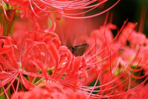 2017.09.23 追分市民の森 彼岸花へコチャバネセセリ 吸蜜