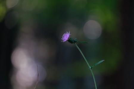2017.11.03 瀬谷市民の森 アザミ