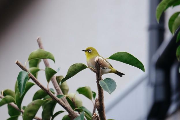 2018.01.18 和泉川 庭木にメジロ