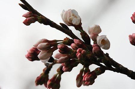 2010.03.26 和泉川 さくら