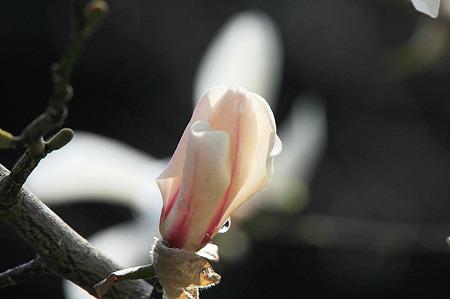 2010.03.26 和泉川 シデコブシ