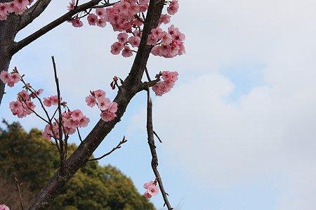 2010.03.29 和泉川 桜 ポキッ