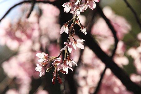 2010.04.08 和泉川 枝垂桜 もう少し