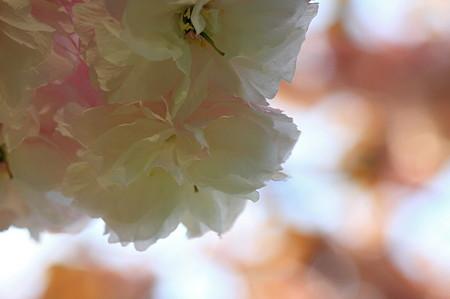 2010.04.26 和泉川 八重桜-1