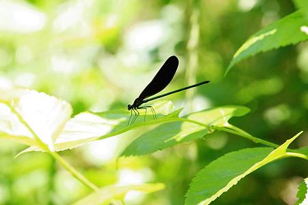 2010.06.03 泉の森 ハグロトンボ