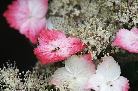 2010.06.11 和泉川 紫陽花