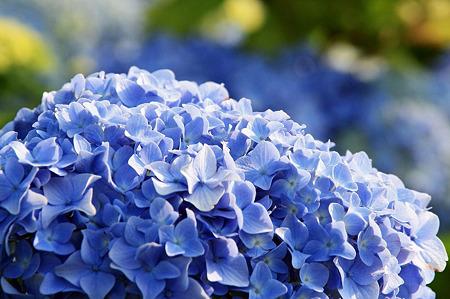 2010.06.12 和泉川 紫陽花