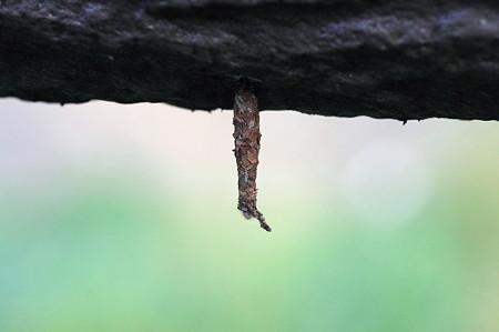 2010.08.30 和泉川 蜘蛛の卵のう?