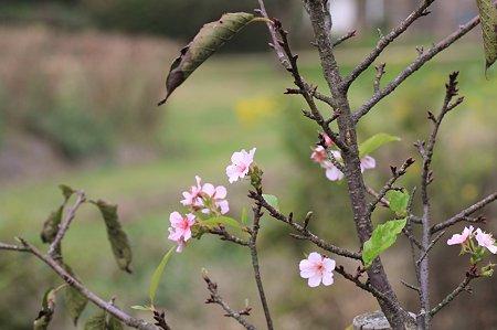 2010.10.16 和泉川 寒桜 花と葉