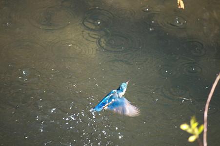 2010.12.25 和泉川 カワセミ