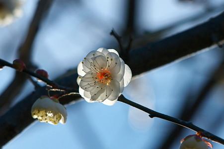 2011.01.06 和泉川 梅