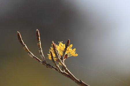 2011.03.16 和泉川  山茱萸