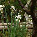 写真: 梅の樹に寄り添う・・真っ白な水仙