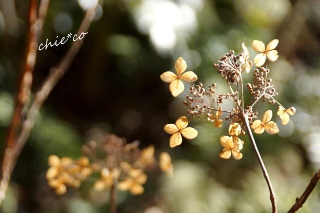 季節をこえた玉紫陽花・・