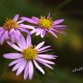 写真: 紺菊。。