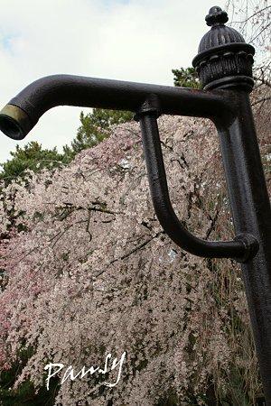 しだれ桜・・22 京都御苑 2010