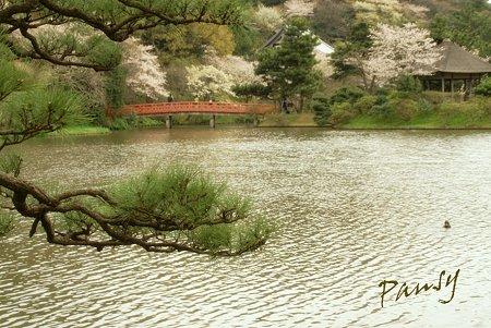 桜咲く・・三渓園・・4