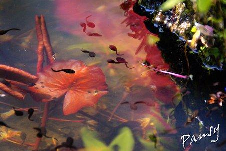 オタマジャクシのいる池・・