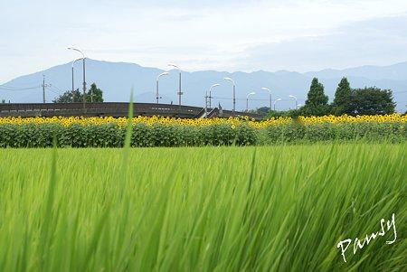 ひまわりと・・水田のある風景・・2
