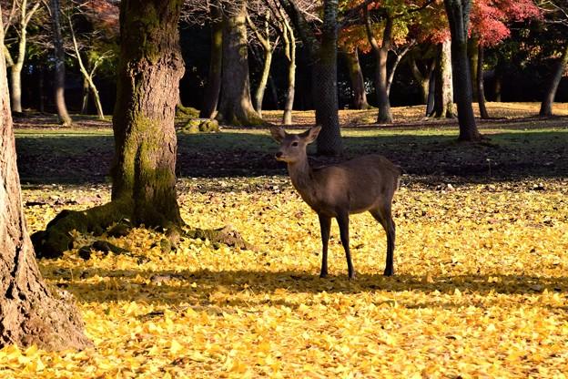 Photos: 神々しい鹿でした。