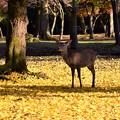 写真: 神々しい鹿でした。
