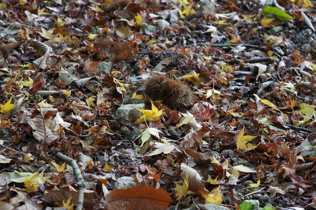 落葉とイガグリ
