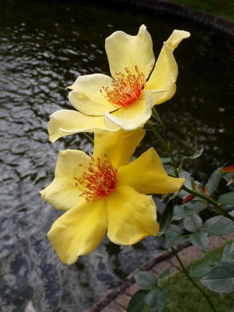 黄色い薔薇 I