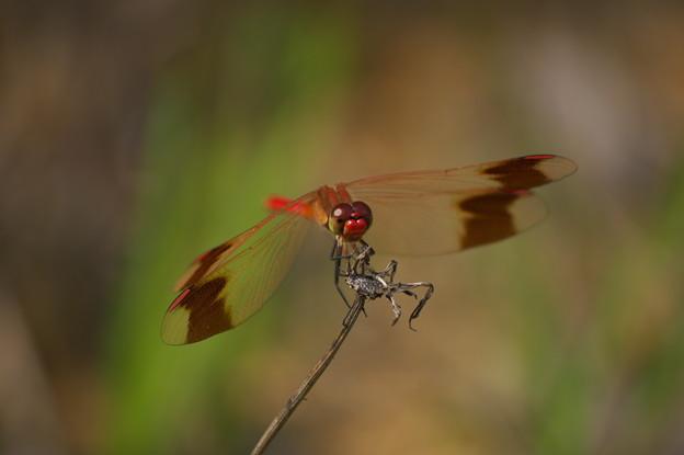 夏の蜻蛉(ミヤマアカネ)