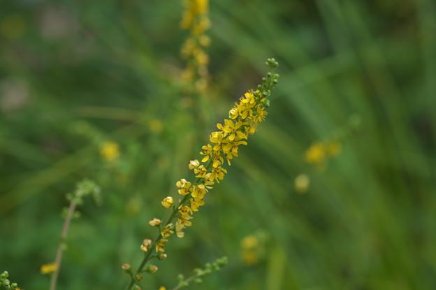 高原の花(キンミズヒキ)