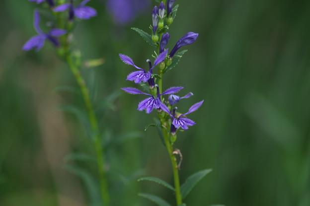 湿原の花(サワギキョウ)