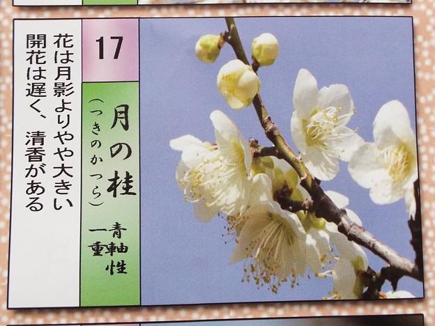 2015_0221花小金井月の桂015