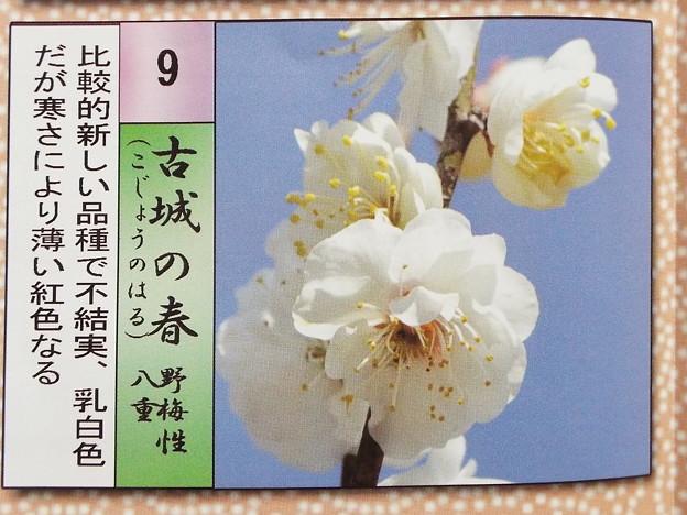 2015_0221花小金井古城の春008