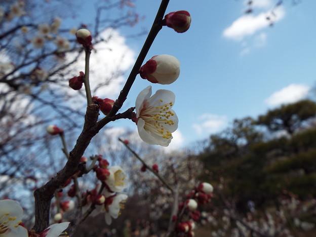 2015_0221花小金井小梅甲州系0123
