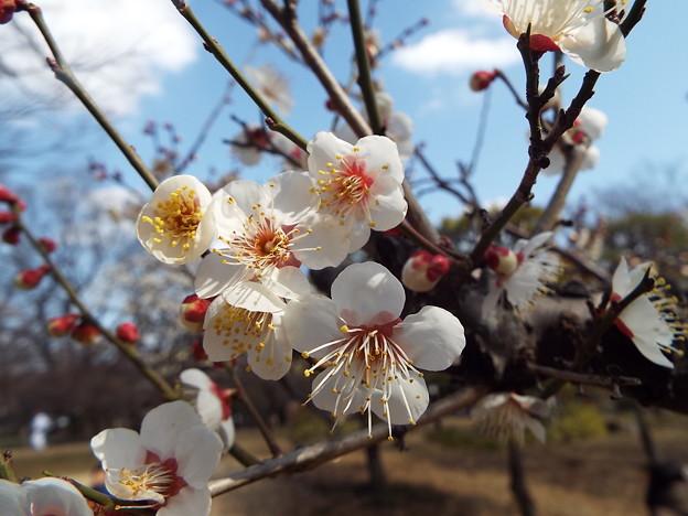 2015_0221花小金井小梅甲州系0124