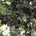 アキチョウジ園芸種1710010026