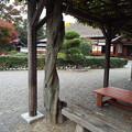 写真: ノダフジ?1711140034