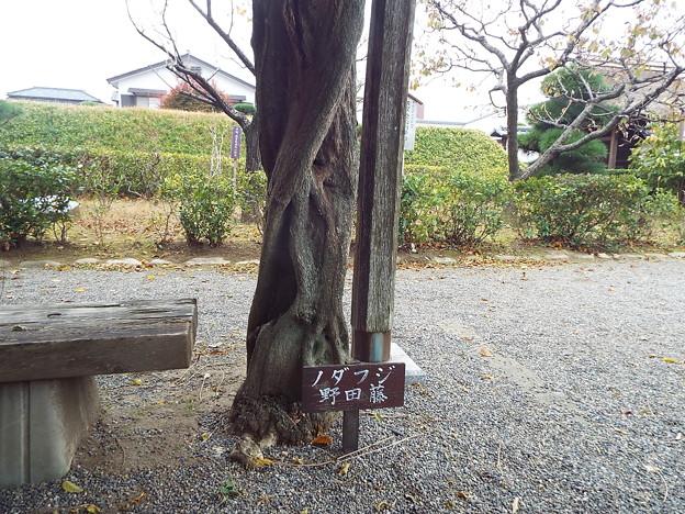 写真: ノダフジ?1711140037