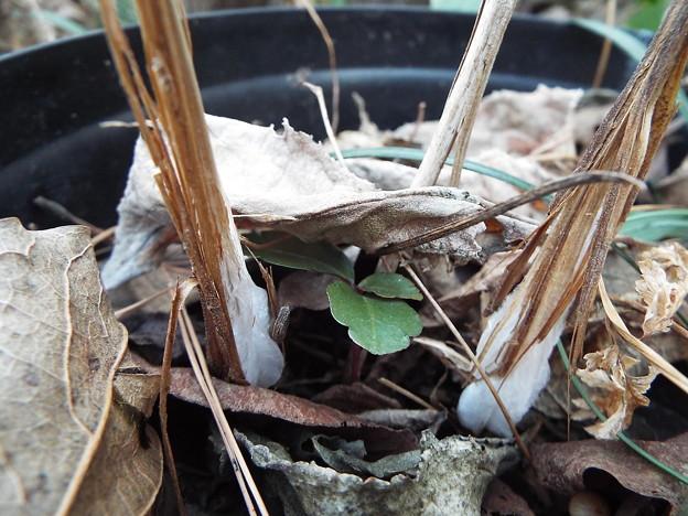 シモバシラ鉢植え11801130001