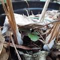 写真: シモバシラ鉢植え11801130001