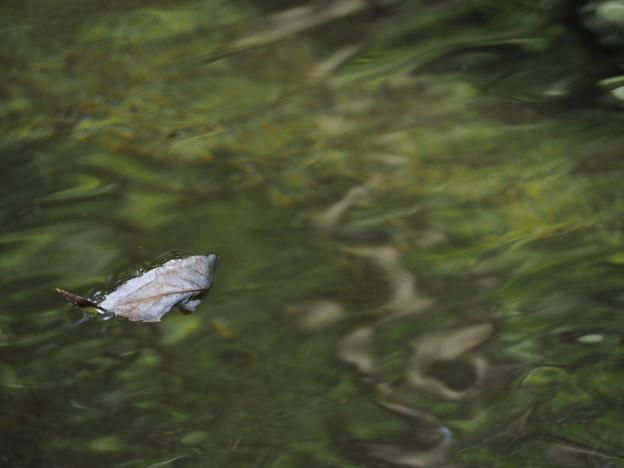 写真: 水面に浮かぶ木の葉