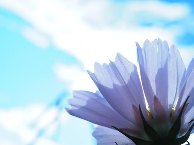 写真: 青空とシーシェルコスモス