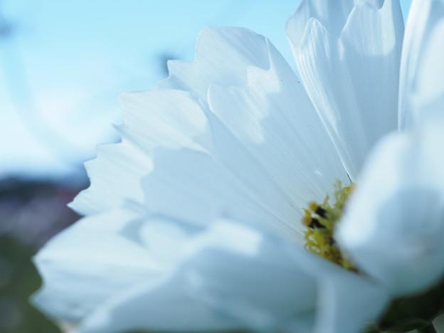 写真: 白いシーシェルコスモス