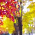 Photos: 晩秋の欅並木