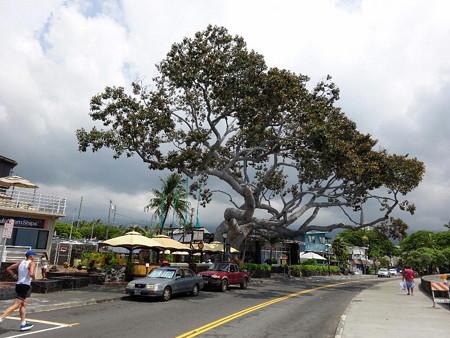 171003-04立派な樹
