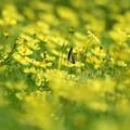 写真: 遠くにうもれそうなアオスジアゲハ