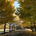 カナールの銀杏並木