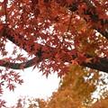銀杏並木の近くの紅葉もはや色づいて