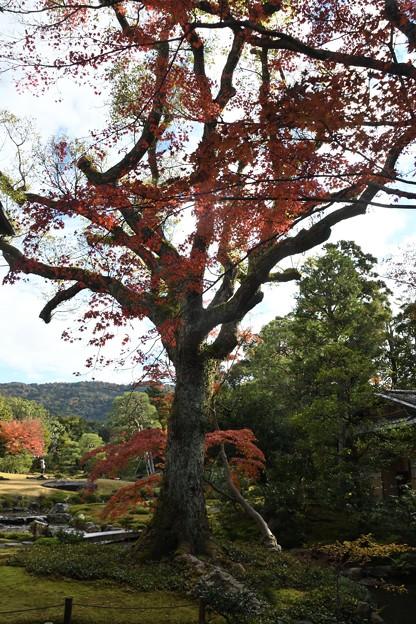 大きな大きな紅葉