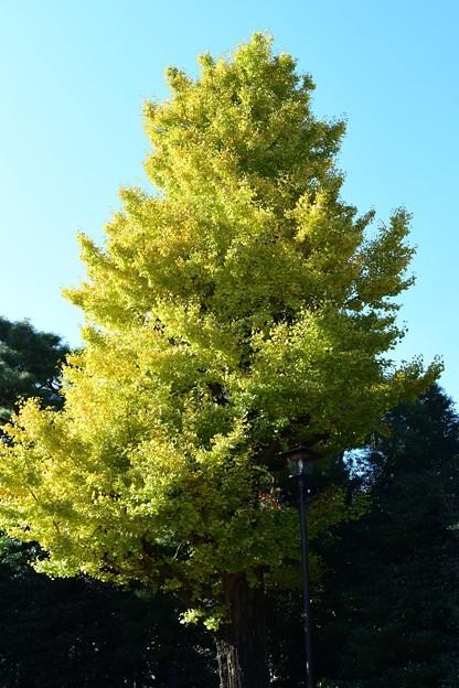 写真: 銀杏の大木