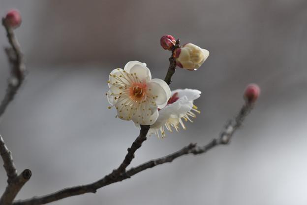 白梅(八重野梅)2